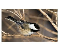 Blackcapped Chickadee Perched In A Tree. Province Poster at CafePress