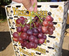 King Fresh Grapes from CA