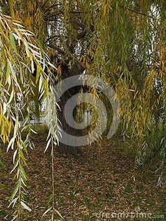 Green willow on a natural background on the lakeshore.