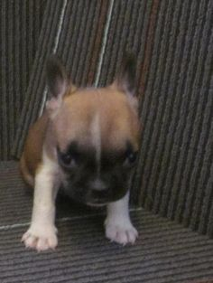 French Bulldog Puppies from dog breeders. Frenchie For sale in south Florida. We have some Mini French Bulldog and standard Bulldogs for sale Bulldogs For Sale, Bulldog Puppies For Sale, Tiny Puppies, Best Puppies, French Bulldog Puppies, Cute Puppies, Cute Dogs, Teacup Dogs For Sale, Animals And Pets