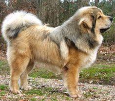 Adopt these Tibetan Mastiffs raised in the firms of amritsar punjab ...