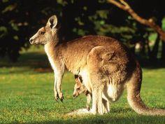 Canguru Canguru é o nome genérico dado a um mamífero marsupial pertencente a quatro espécies do género Macropus da família Macropodidae, que também inclui os wallabees
