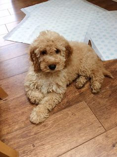 Elsie, our 14 week old apricot cockapoo puppy
