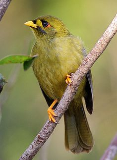 Bell Miner or Bellbird, smallest of the miners. Medium-large & solidly built honeyeater. Lives in large colonies & aggressively defends their territories against all intruders. Australia.