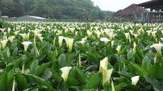 yangmingshan mountain taipei - Google Search