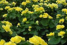 Begonia zimowa ( wyniosła ) - Begonia elatior Begonia, Pergola, Plants, Outdoor Pergola, Plant, Planets