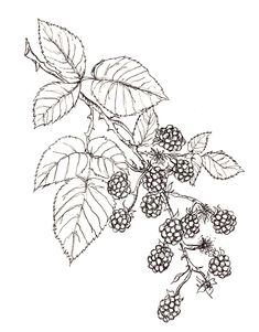 Blackberries (own sketch) Easy Drawings Sketches, Tattoo Sketches, Blackberry Tattoo, Flower Sleeve, Temp Tattoo, Stencil Designs, Botanical Illustration, Flower Tattoos, Line Drawing