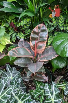 Ficus elastica 'Ruby' has stunning variegation. Check out those leaves! To keep colors vibrant, this plant would prefer bright indirect light. Native to tropical regions of India and Malaysia. #houseplants #tropicalplants #ficus