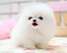 Little Fluffy Ball of Cute cute animals sweet white dog puppy pets fluffy pomeranian precious