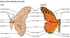 Difference Between Butterfly And Moth Wings - Famous Foto Butterfly Karakatliam. Moth Vs Butterfly, What Is A Butterfly, Butterfly Facts, Butterfly Design, What Do Butterflies Eat, Beautiful Butterflies, Moth Wings, Harry Styles Wallpaper, Couple Wallpaper