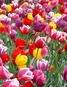 14 Mixed Tulip Bulbs for $2.74 - perfect time to plant fall bulbs!