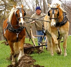 draft horses | The Strength Of The Draft Horse