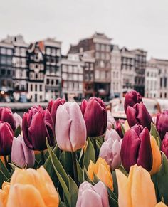 ✨Tulips Mood✨It was not enough tulips in Amsterdam, so today I decided to have a quick look at Dutch flower fields😍 Unfortunately not all fields are blooming, but slowly we are getting there! You can also check my stories to see it. Frühling Wallpaper, Field Wallpaper, Flower Phone Wallpaper, Aesthetic Iphone Wallpaper, Aesthetic Wallpapers, Spring Aesthetic, Flower Aesthetic, Aesthetic Drawing, Tulip Fields