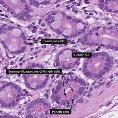 Normal: Small intestine - 200x