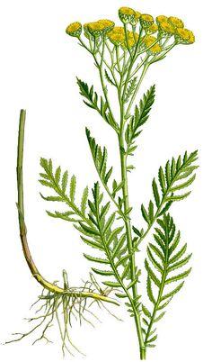 Reinfann (Tanacetum vulgare)