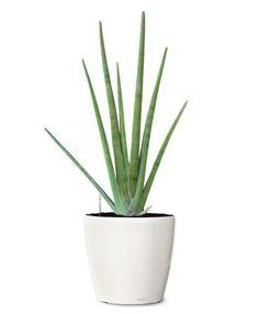 Spear Snake Ornamental Plant - Sansevieria Cylindrica (Web)