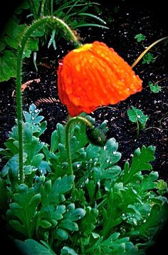 California Golden Poppy State Flower Felton Ca                             Photo by Judith Arbaugh -Me