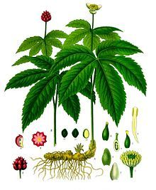Goldenseal (Hydrastis Canadensis) - natural homeopathic remedy for cold! I took this for days when I had a head cold/congestion and it helped to clear it right up! I will never take cold medicine again! Healing Herbs, Medicinal Plants, Plant Illustration, Botanical Illustration, Natural Cures, Natural Healing, La Malmaison, Herbal Medicine, Cold Medicine