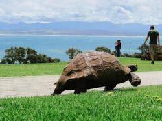 Turtle wandering around in the former portuguese Aguada de São Bras, nowadays Mossel Bay, South Africa.