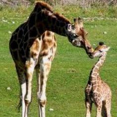 Giraffes ❤❤