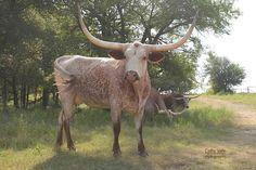 Texas longhorn heifer in Texas #Texaslonghorns #longhorncattle #ranching #farmblog #agriculture #gvrlonghorns #Texasranch Longhorn Cattle, Longhorn Cow, Cattle Farming, Livestock, Cattle For Sale, Green Valley Ranch, Raising Cattle, Texas Ranch, Texas Longhorns