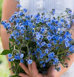 New at Johnny's! Intense blue Chinese Forget-Me-Not  with tall, sturdy stems perfect for bouquets.