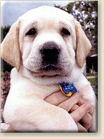 Guide Dogs of America (GDA) business sponsored puppies in training. Awwww...
