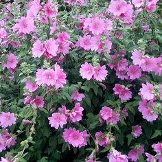 Lavatera x clementii Rosea - Tree Mallow Mallow Flower, Deer Resistant Plants, Planting Shrubs, Natural Remedies For Anxiety, Pink One Piece, Hardy Plants, Pop Culture Halloween Costume, Garden Inspiration, Gardens