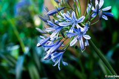 写真 アガパンサス 202002 もうすぐ梅雨明けと思いたい My Works, Plants, Flora, Plant