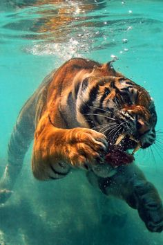 animal, cool, photography, roar, tiger, wild, underwater
