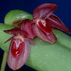 Acronia scabrilinguis