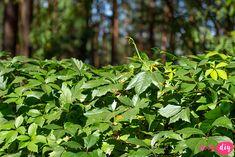 19 roślin, które będą rosły w zacienionych miejscach! - Twoje DIY Bonsai, Diy And Crafts, Pergola, Herbs, Gardening, Outdoor Pergola, Lawn And Garden, Herb, Horticulture
