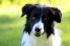 """A summary of some inconclusive studies re: spaying/neutering that, in Patricia McConnell's words, have """"generated has highlighted more about what we don't know about the effects of neutering our pets than what we do."""""""