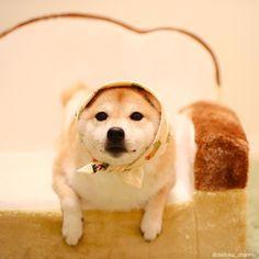 柴犬だいふくさんはInstagramを利用しています:「パンの上のアザラシじゃなくて、だいふくだよ おやふくー また明日ー Like a seal ha ha #アザラシ #ごまちゃん #じゃない方」