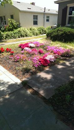 Started 3 yrs ago removed lawn & added ice plants
