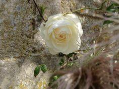 Shy climbing rose.