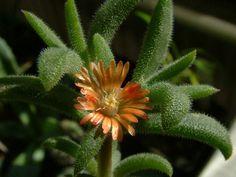 othonna othonna pictures | Delosperma rogersii Blüte: gelb,