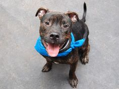 TO BE DESTROYED 9/4/14 Manhattan Center  My name is SHADOW. My Animal ID # is A0973886. I am a neutered male black pit bull mix. The shelter thinks I am about 2 YEARS old. *** RETURNED ON 8/28/14 ***  I came in the shelter as a OWNER SUR on 08/28/2014 from NY 10452, owner surrender reason stated was MOVE2PRIVA.