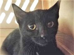FEMALE, LANCELOT A1123381, 4 mos,  was brought in with sibling – FEMALE, PERCIVAL – A1123382,4 mos, Reason STRAY, Super Urgent Shelter Cats  These animals are either high risk, injured or have previously appeared on the To Be Destroyed list and survived. They are in danger of being on the list again or destroyed without any further notice.