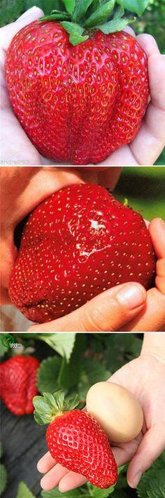 US$2.69  100Pcs Giant Red Strawberry Seeds Rarest Heirloom Super Giant Japan Strawber Seeds Garden