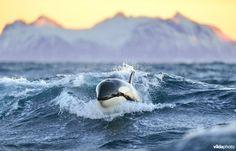 Späckhuggare - Norge Foto: Yves Adams / Vildaphoto