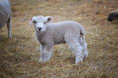 Romney Sheep, Lambs, Goats, Stones, Birds, Animals, Fotografia, Rocks, Animales