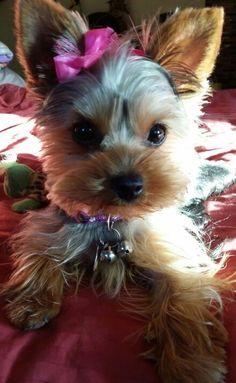 Popular Terrier Bow Adorable Dog - 514486f2e4c7c03194c300c632cf3c81  HD_842341  .jpg