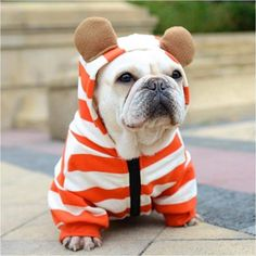 The major breeds of bulldogs are English bulldog, American bulldog, and French bulldog. The bulldog has a broad shoulder which matches with the head. French Bulldog Clothes, French Bulldog Blue, French Bulldog Puppies, French Bulldogs, Frenchie Puppies, Perros French Poodle, Cãezinhos Bulldog, Smart Dog Toys, Outdoor Dog Toys