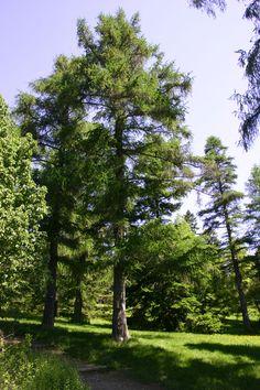 Narrow tree for tight spaces swedish aspen populus for Trees for tight spaces