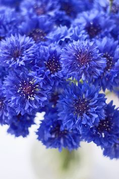The Cornflower aka Centaurea cyanus...a striking, blue summer flower | Flowerona
