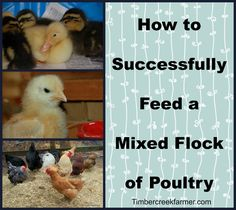 It is possible to house chickens, ducks, partially grown pullets and ducklings , together,  and still provide the nutrition that each requires.