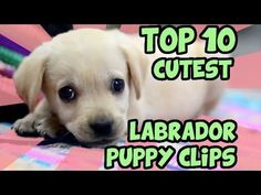 Labrador Dog Images Hd Latest Labrador Dog Images Hd News Cute Labrador Puppies, Cute Puppies, Cute Dogs, Cute Baby Animals, Funny Animals, Really Cute Babies, Loyal Dogs, Weird Stories, Funny Animal Videos