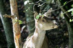 Female of deer
