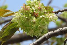 ギョイコウ桜 Green and white cherry blossom